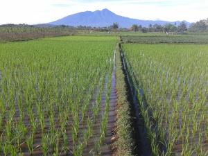 Ber- Irigasi dari Sungai Cidepit/Bendung Sungai Cisadane, Lokasi di Desa Bojong, Kec. Kemang ( Belakang Lanud –TNI AU Atang Sanjaya, Semplak/Kemang Kab. Bogor). Kebun hanya (=- )80 meter dari Jalan Desa. Mobil bisa masuk sampai jarak 50 meter dari Lokasi Kebun/Sawah. Harga Penawaran Rp.200.000,/meter ( AYS: HP 0859-2512 9189, Telp. 0251-821-5283 )
